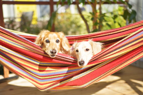 おうちキャンプで犬とハンモック