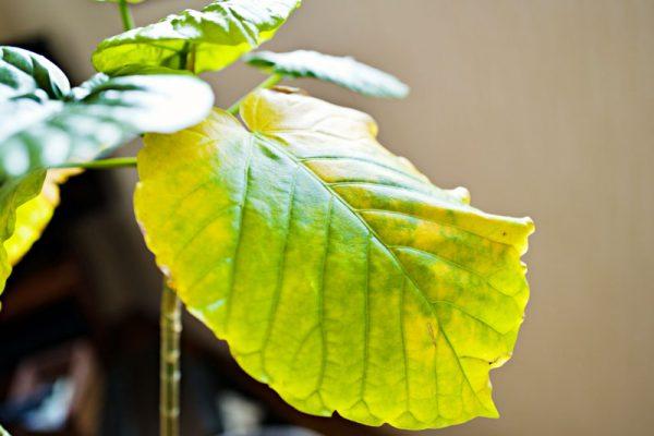 黄色くなった葉は緑に戻る?
