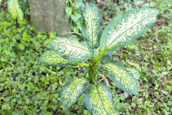 毒のある観葉植物ディフェンバキア