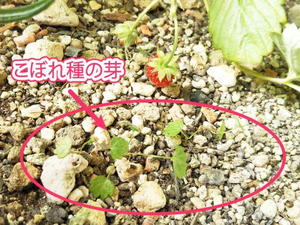 ワイルドストロベリーこぼれ種の芽