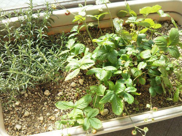 ワイルドストロベリー寄せ植え