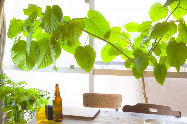 12観葉植物ウンベラータ