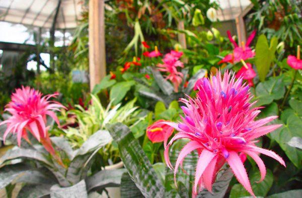 15観葉植物エクメア・ファスキアタの花