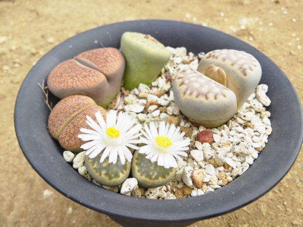 10観葉植物リトープス