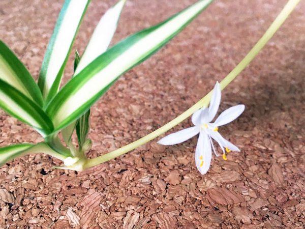 16観葉植物オリヅルランの花