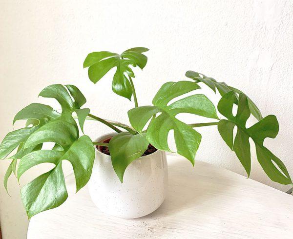 06観葉植物ヒメモンステラ