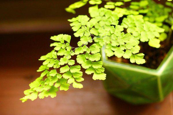 07観葉植物アジアンタム