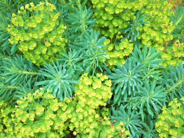 11観葉植物ユーフォルビア