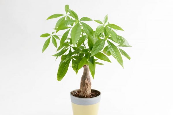 13観葉植物パキラ
